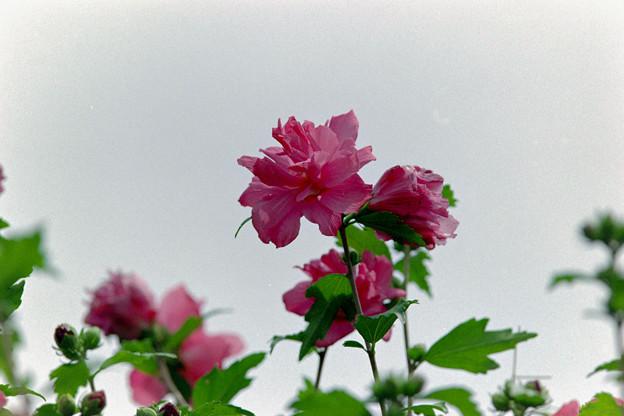 花菜ガーデン【ムクゲ】3銀塩