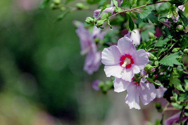 花菜ガーデン【ムクゲ】4銀塩