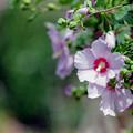 Photos: 花菜ガーデン【ムクゲ】4銀塩