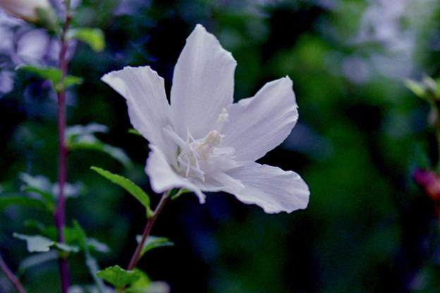 花菜ガーデン【ムクゲ】6銀塩