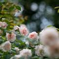 花菜ガーデン【夏バラ(ウィズレー2008)】