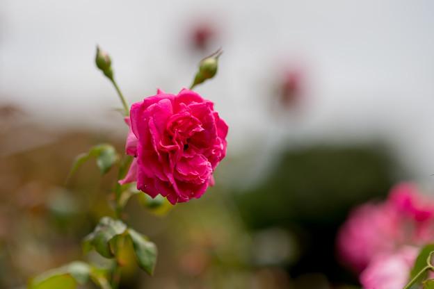 花菜ガーデン【夏バラ(パレード)】