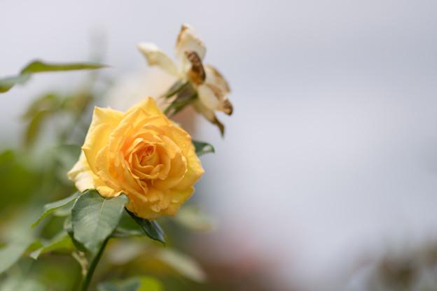 花菜ガーデン【夏バラ(ゴールド・メダル)】