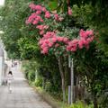 近所の緑道【サルスベリ】1