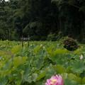 Photos: 中井蓮池の里【蓮池の眺め】2