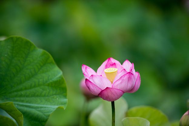 中井蓮池の里【蓮の花】2