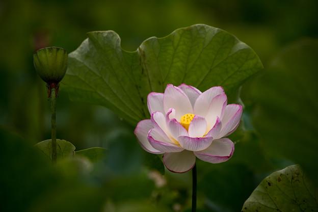 中井蓮池の里【蓮の花】3