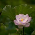 Photos: 中井蓮池の里【蓮の花】3