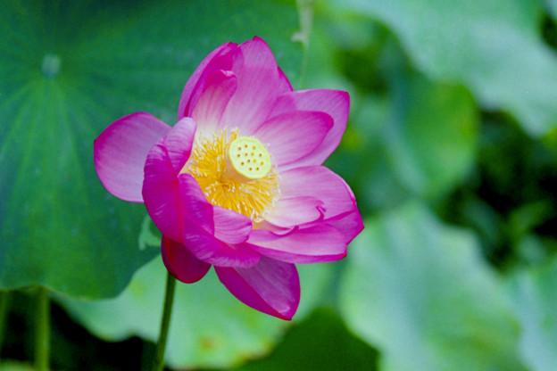 中井蓮池の里【蓮の花】4銀塩