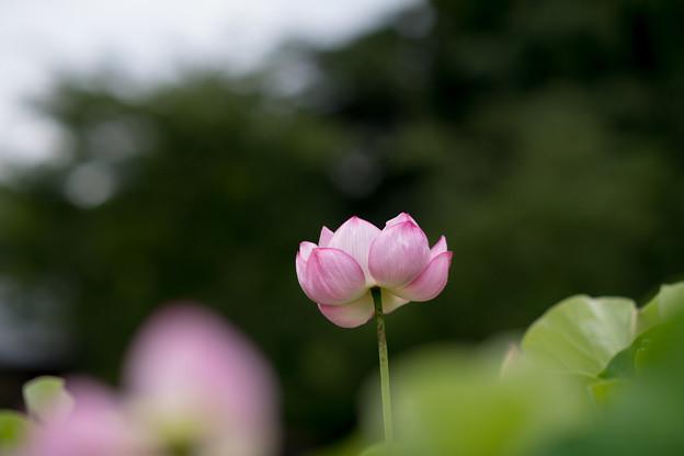中井蓮池の里【蓮の花】1