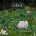 Photos: 中井蓮池の里【蓮池の眺め】3