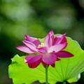 Photos: 神代植物公園【ハス:青菱紅蓮】2銀塩