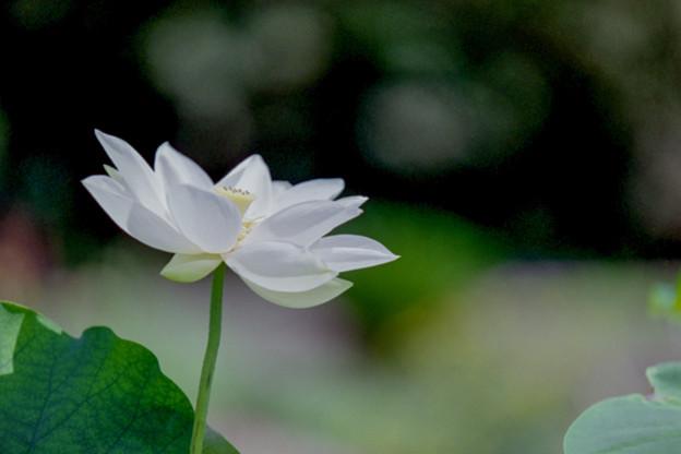 神代植物公園【ハス:白光蓮】銀塩