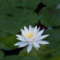 Photos: 神代植物公園【スイレン】1