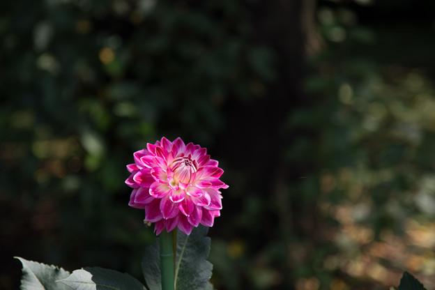 神代植物公園【ダリア:ビューティースターズ】