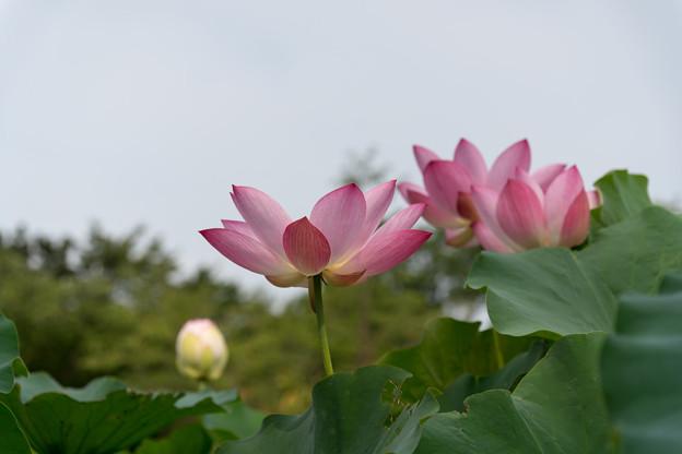 大船フラワーセンター【ハスの花】1