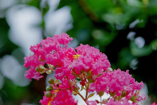 大船フラワーセンター【サルスベリ:ピンク系】3銀塩