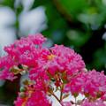 Photos: 大船フラワーセンター【サルスベリ:ピンク系】3銀塩