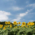 昭和記念公園【ヒマワリ:ハイブリッドサンフラワー】4