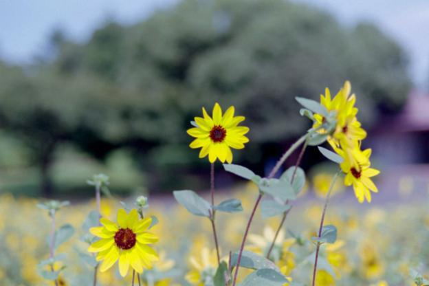 昭和記念公園【ヒマワリ:サンフィニティ】3銀塩
