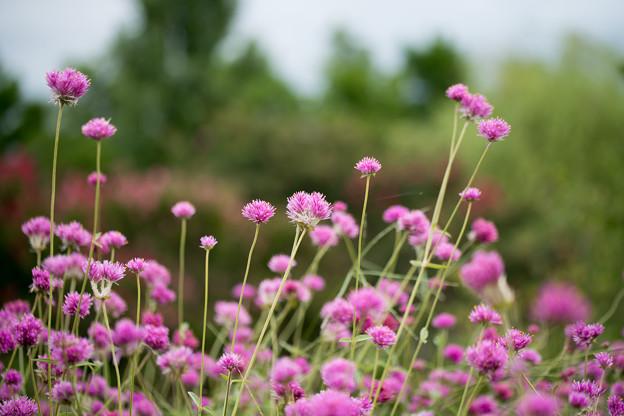 花菜ガーデン【センニチコウ】2