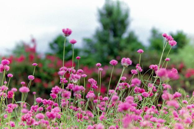 花菜ガーデン【センニチコウ】3銀塩