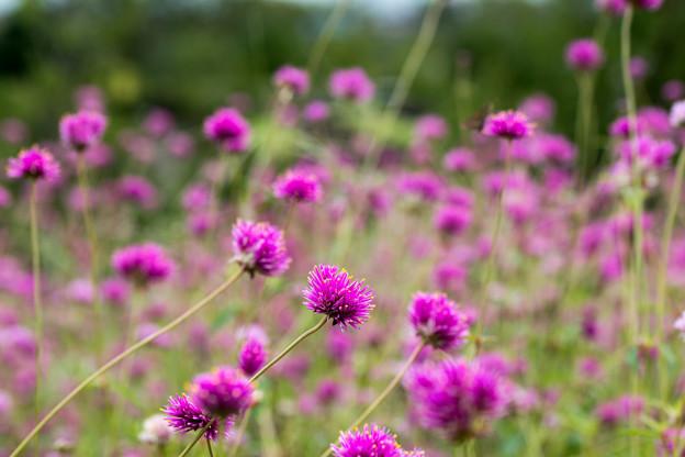 花菜ガーデン【センニチコウ】5