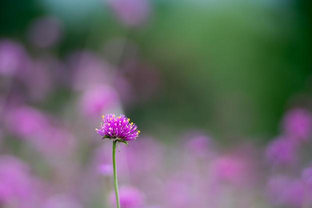 花菜ガーデン【センニチコウ】6