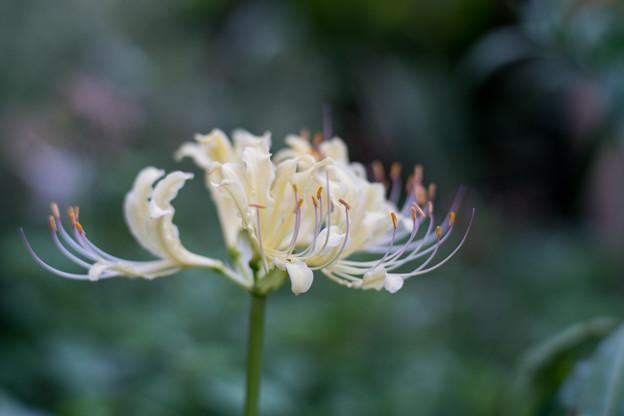 花菜ガーデン【リコリス(白系)】3