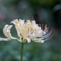 Photos: 花菜ガーデン【リコリス(白系)】3