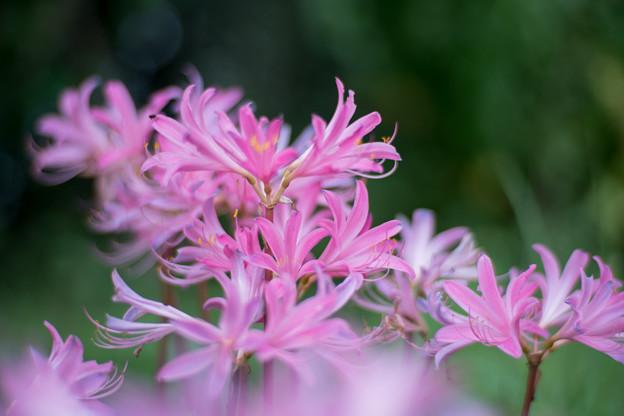 花菜ガーデン【リコリス(ピンク系)】1