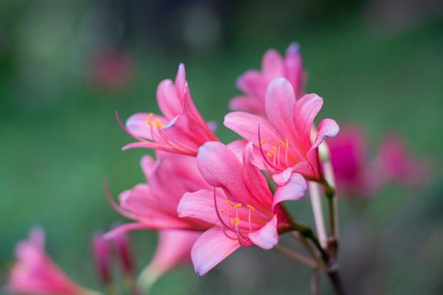 花菜ガーデン【リコリス(ピンク系)】2