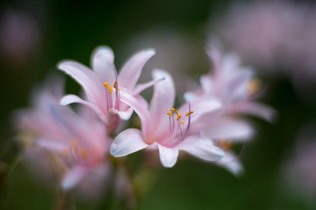 花菜ガーデン【リコリス(ピンク系)】4