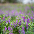 Photos: 花菜ガーデン【アンゲロニア】1