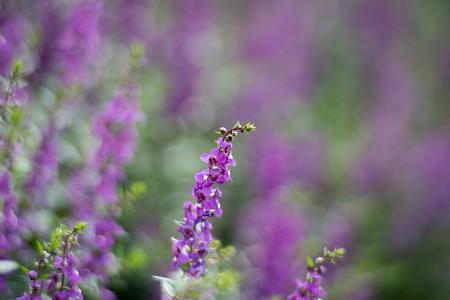 花菜ガーデン【アンゲロニア】3