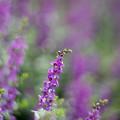 Photos: 花菜ガーデン【アンゲロニア】3