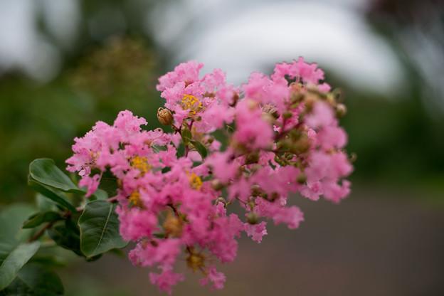 Photos: 花菜ガーデン【サルスベリ(ピンク系)】2