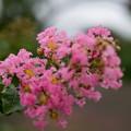 花菜ガーデン【サルスベリ(ピンク系)】2