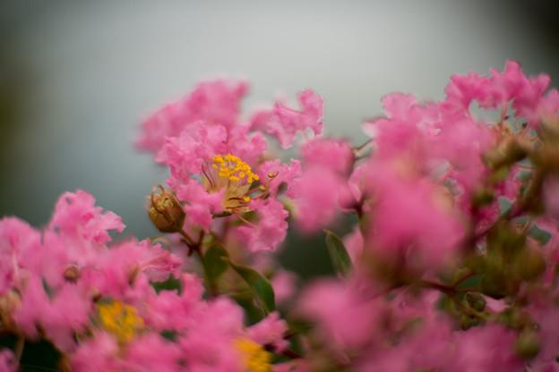 花菜ガーデン【サルスベリ(ピンク系)】3