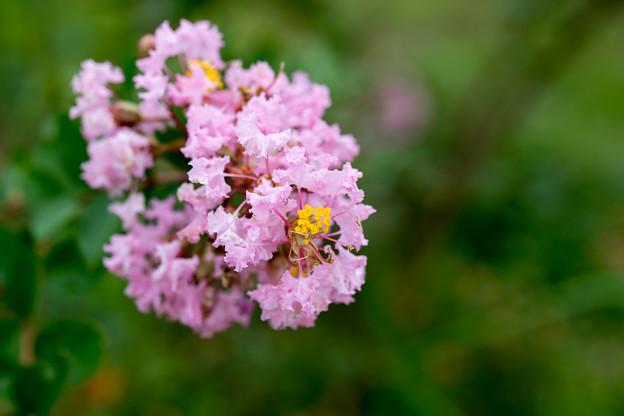 花菜ガーデン【サルスベリ(ピンク系)】4