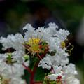 Photos: 花菜ガーデン【サルスベリ(白系)】2銀塩