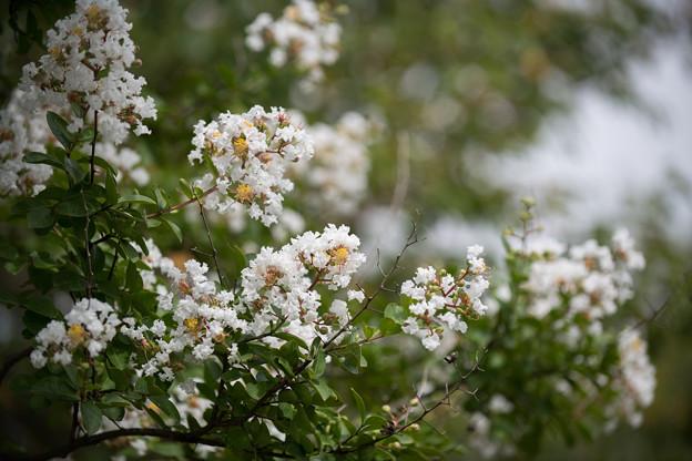 花菜ガーデン【サルスベリ(白系)】1