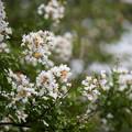 Photos: 花菜ガーデン【サルスベリ(白系)】1