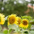 Photos: 花菜ガーデン【ヒマワリ】1