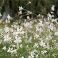 Photos: 花菜ガーデン【センニンソウ】2