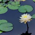 Photos: 花菜ガーデン【スイレン】1銀塩
