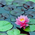 Photos: 花菜ガーデン【スイレン】2銀塩