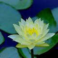 Photos: 花菜ガーデン【スイレン】3銀塩
