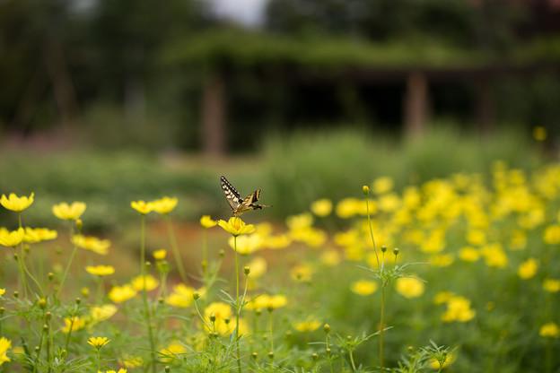 花菜ガーデン【キバナコスモス】