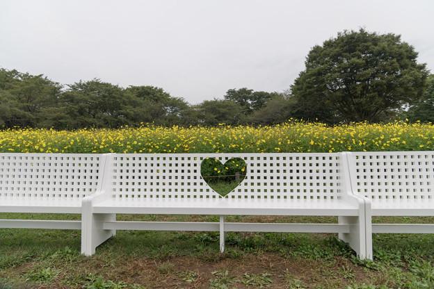 昭和記念公園【キバナコスモス】2